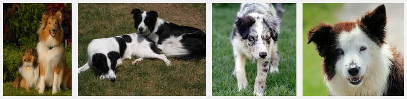 collies_googlecommonssearch.jpg