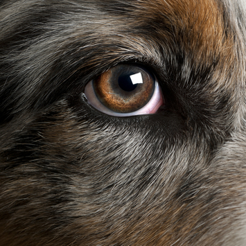 Australian-Shepherd-close-up-of-dogs-eye.jpg