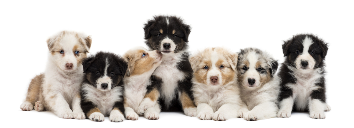 Australian-Shepherd-puppies-6-week-old-sitting-and-lying-in-a-row.jpg