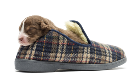 Australian-Shepherd-puppy-sleeping-in-a-slipper-11-days-old.jpg