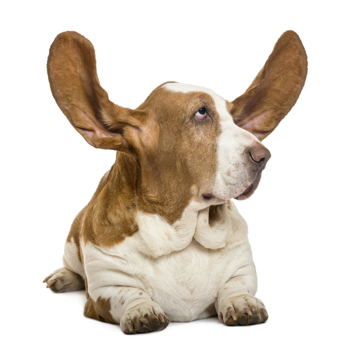Basset-Hound-lying-with-ears-up.jpg