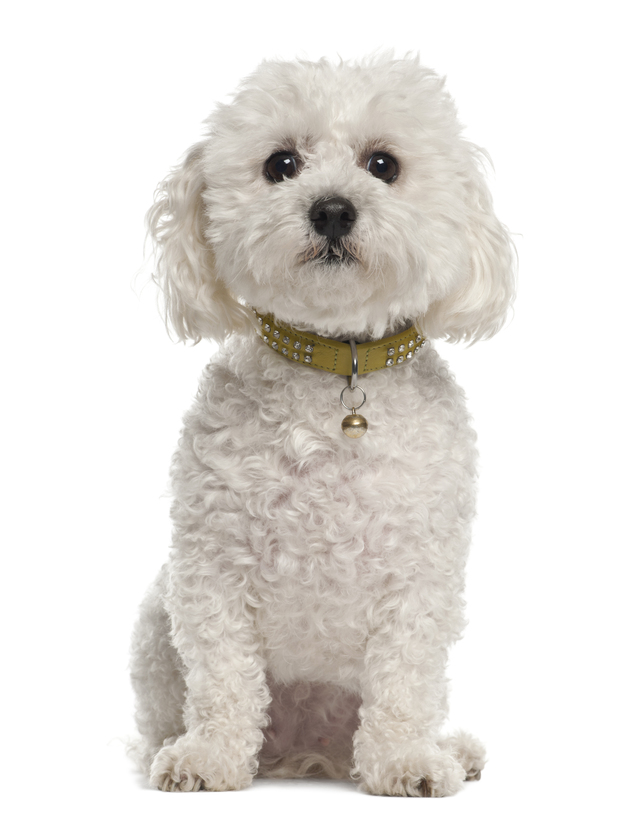 Bichon-Frise-5-years-old-sitting.jpg