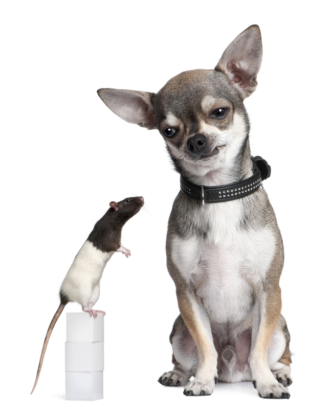 Chihuahua-and-a-rat-sitting.jpg