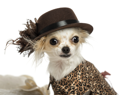 Chihuahua-wearing-a-hat.jpg