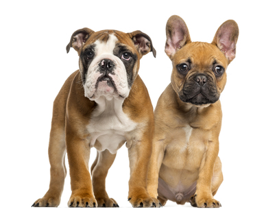 English-Bulldog-puppy-and-French-Bulldog-puppy.jpg