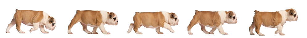 English-Bulldog-puppy-tracking-2-months-old.jpg