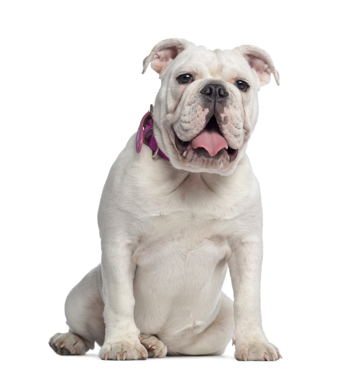 English-Bulldog-sitting-7-months-old.jpg