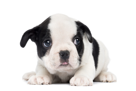 French-Bulldog-Puppy-2-months-old.jpg