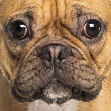 French-Bulldog-close-up.jpg