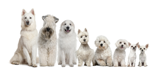 Group-of-white-dogs-sitting-from-tall-to-small.jpg