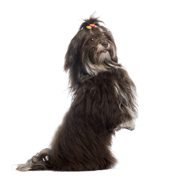 Havanese-upright.jpg