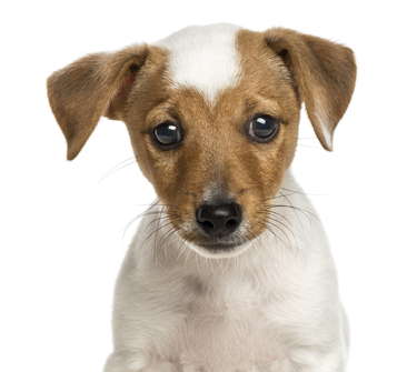 Jack-Russell-Terrier-puppy-2-months-old-Close-up.jpg