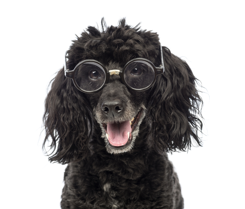 Poodle-5-years-old-wearing-glasses.jpg