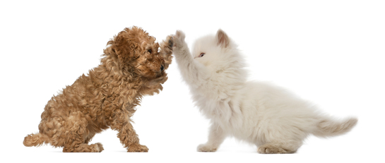 Poodle-Puppy-and-British-Longhair-Kitten-high-fiving.jpg