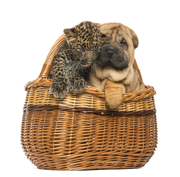 Sharpei-puppy-and-spotted-Leopard-cub-in-a-wicker-basket.jpg