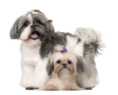 Shih-Tzus-3-years-old-and-9-months-old.jpg