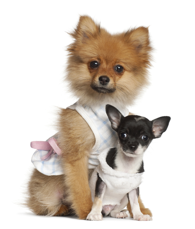 Spitz-puppy-3-months-old-and-Chihuahua-puppy-2-months-old.jpg