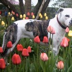 American_Staffordshire_Terrier