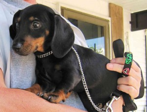 leash training a dachshund