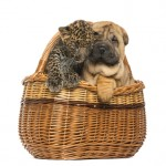 Sharpei puppy and spotted Leopard cub